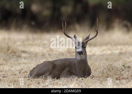 Black-tailed Deer Stag Resting