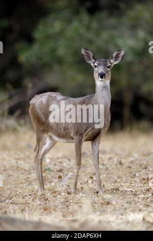 Alert Black-tailed Deer Doe