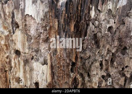 Old cracked rotten stump texture. Wooden background
