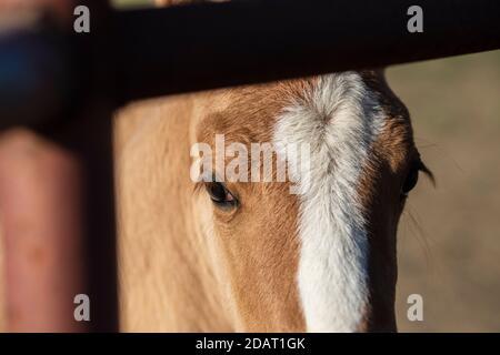 Closeup of eye of curious foal peeking through bars of corral - Stock Photo
