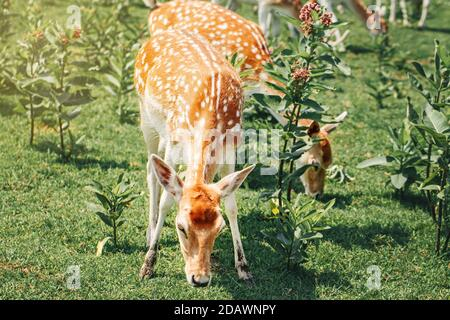 Group of young fallow deer eating grass on summer outdoor. Herd animals dama dama feeding consuming grazing plant food on meadow. Wildlife beauty in n