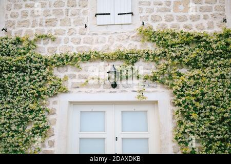 A lantern on the stone wall of the house above the front door with a curly fragrant honeysuckle vine on the sides. - Stock Photo