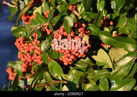 Berries. Foots Cray Meadows, Sidcup, Kent. UK
