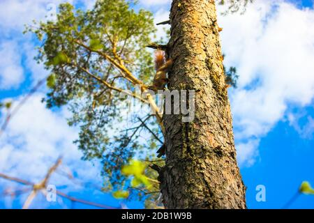 A red squirrel with a fluffy tail descends down a tree on the ground against the background of a blue sky in early spring, bark and branches of a pine - Stock Photo