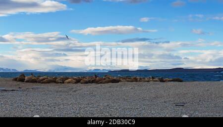 Walrosskolonie bei Torellneset, Nordaustlandet/Spitsbergen