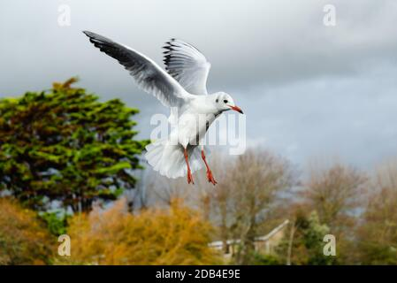 Black headed gull (Chroicocephalus ridibundus) with wings up flying in Winter in the UK. Seagull in flight. - Stock Photo