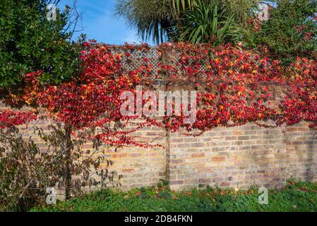 Autumn Foliage leaves of Japanese Creeper (Parthenocissus tricuspidata), AKA Boston Ivy, Grape Ivy & Japanese Ivy, growing on a wall in Autumn in UK.