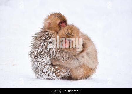 two brown cute baby snow monkeys hugging and sheltering each other from the cold snow with ice in their fur in winter. Wild animals showing love
