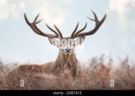 Close-up of a red deer stag standing in the field of ferns during rutting season on a misty autumn morning, UK.