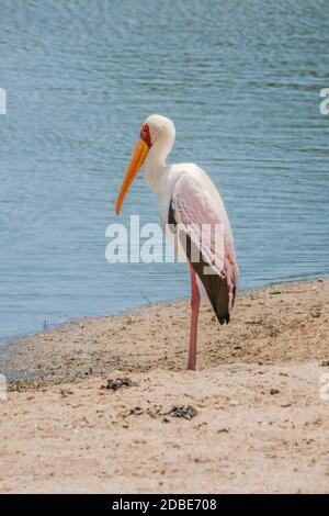 Yellow-billed stork standing on sandy river bank - Stock Photo