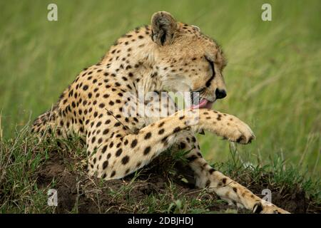 Close-up of cheetah licking paw on mound - Stock Photo
