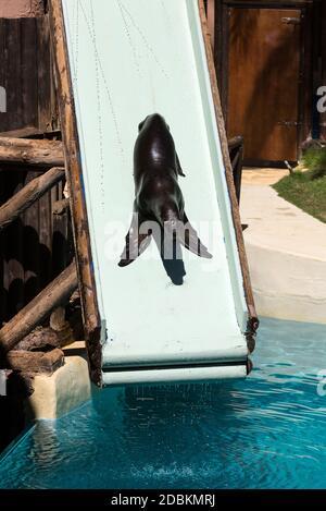 LA LAJITA, FUERTEVENTURA, SPAIN - SEPTEMBER 11, 2015:  Shows sea lions in the pool,, Oasis Park, Fuerteventura, Canary Island, Spain - Stock Photo