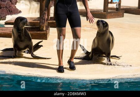 Shows sea lions in the pool,, Oasis Park, Fuerteventura, Canary Island, Spain - Stock Photo