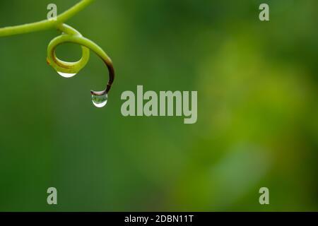 Vine tendril with water drop closeup - Stock Photo