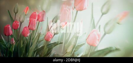 Delicate pink flowers and Tulip buds on a light background in pastel colors . Banner, spring flowers. Double exposure