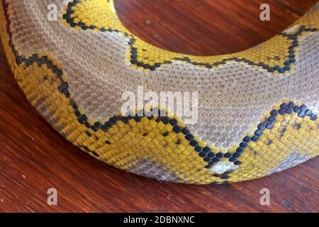 Close up of snake skin texture use for background. reticulated python is non venomous snake native to South and Southeast Asia. Macro photo python sna