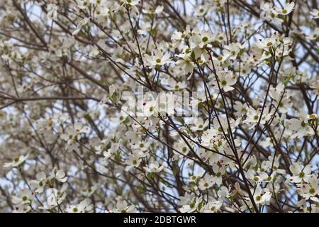 Flowering Dogwood (Cornus florida). Called American Dogwood and Eastern Dogwood also. Symbol of North Carolina, West Virginia, Missouri and Virginia - Stock Photo