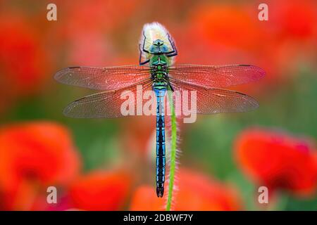 Fragile southern migrant hawker, aeshna affinis, sitting on flower with red poppies blooming in background. Blue dragonfly resting still from top view - Stock Photo