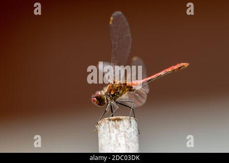 Dragonfly background. Closeup of a blood red dragonfly female (Sympetrum sanguineum) with large transparent wings and yellow black body sitting on old