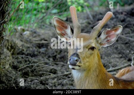 Sika deer also known as the spotted deer or the Japanese deer looking at the camera, copy space. Russian Far  East, Primorsky krai - Stock Photo