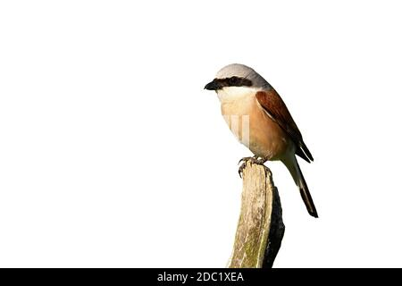 Little red-backed shrike, lanius collurio, male sitting on branch cut out on blank. Small bird looking on bough isolated on white background. Shrike w - Stock Photo
