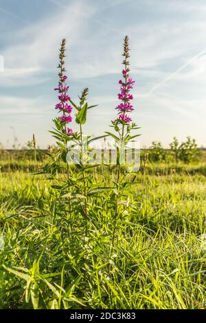 Purple flowering Marsh mandrel or Marsh Hedge Nettle, Marsh Woundwort, Stachys palustris, in meadow against sky with blue spots and veil clouds - Stock Photo
