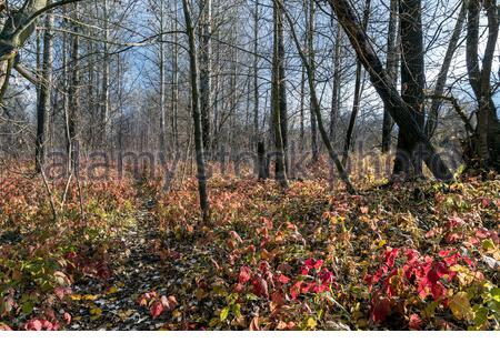 A path in a transparent wild autumn forest on a cold sunny November day, bare tree branches, early-colored leaves on the ground. - Stock Photo
