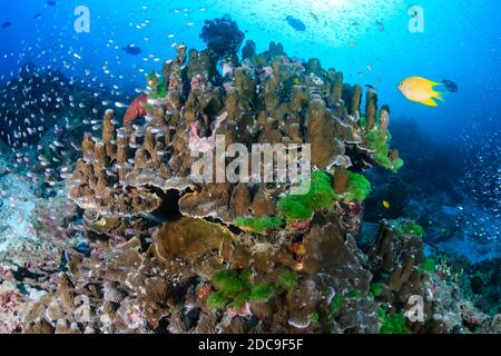 Colorful tropical fish swimming around a tropical coral reef in Asia