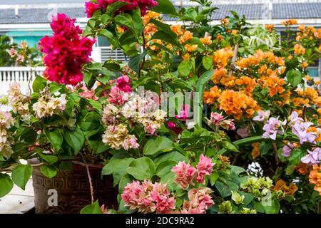 Multi-colored Bougainvillea flowers, colorful flowers