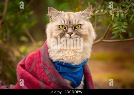Funny cat with blue harness and blanket sitting outside in the forest.