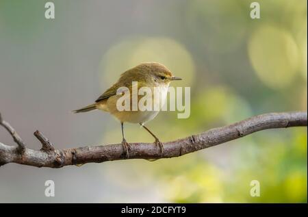 Common chiffchaff, (Phylloscopus collybita) perched in garden. Spain - Stock Photo