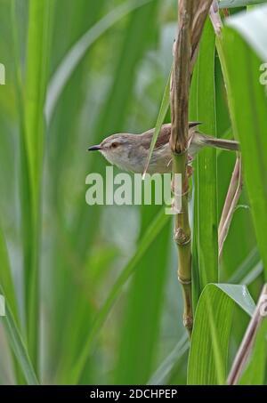 Plain Prinia (Prinia inornata flavirostris) adult perched on stem (endemic sub-species)  Taiwan              April - Stock Photo