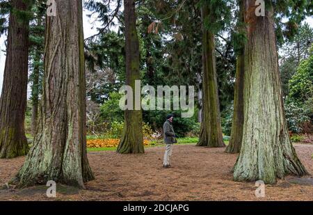 Senior man wearing face mask in John Muir redwood grove during pandemic, Royal Botanic Garden, Edinburgh, Scotland, UK