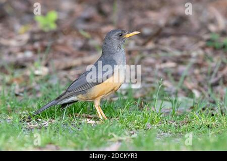 Olive Thrush (Turdus olivaceus), side view of an adult standing on the ground, Western Cape, South Africa - Stock Photo