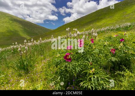 Common Peony (Paeonia officinalis), plants growing on a moutain slope, Abruzzo, Italy