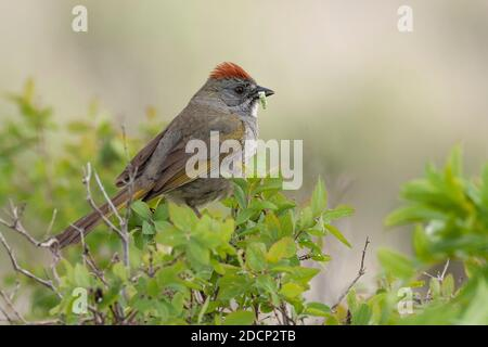 Green-tailed Towhee (Pipilo chlorurus). Grand Teton National Park, Wyoming. Stock Photo