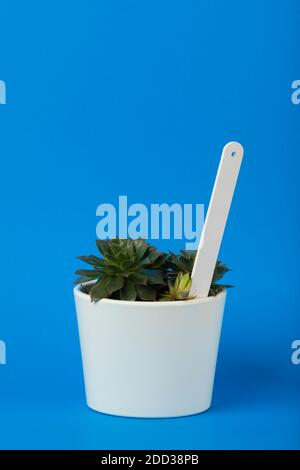 Small sempervivum succulent plant in white flower pot with blank white plant label on blue background