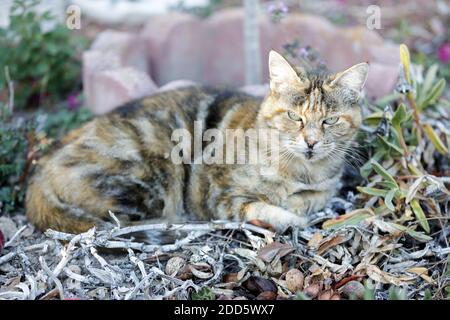 American Shorthair Cat Resting