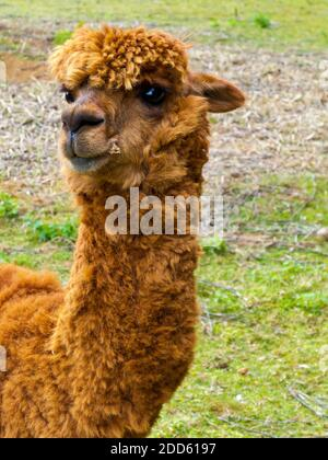 Close up view of the face of an Alpaca (Vicugna pacos), a species of South American camelid mammal found originally in the Andes mountains.