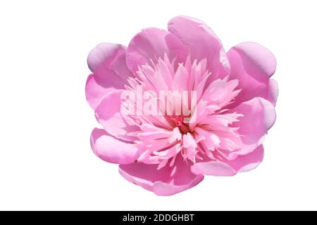 Big pink peony. Flower with pink petals. Isolated on a white background. Stock Photo