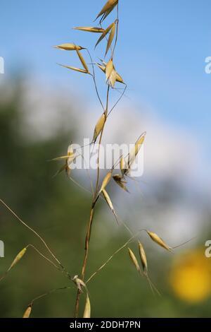 A single golden yellow ripe ear against the blue sky in a summer morning. Beautiful rural landscape. Avena fatua or flaxgrass or wheat oats. - Stock Photo
