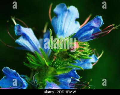Macro photography of red tip of Echium Vulgare blue meadow plant flower on a dark background. - Stock Photo