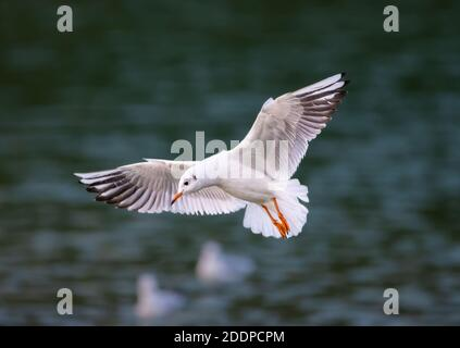 Black headed gull (Chroicocephalus ridibundus) with wings stretched out flying low over water in Autumn in the UK. Seagull in flight. - Stock Photo