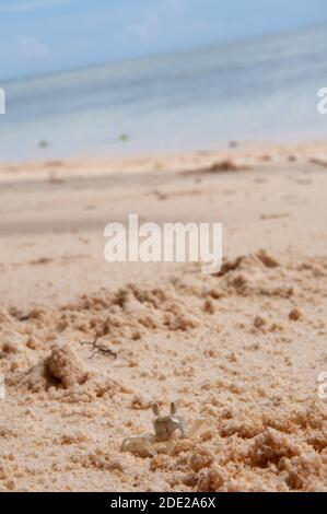 Young Horned Ghost Crab on the beach with the shoreline in the background. Seychelles islands