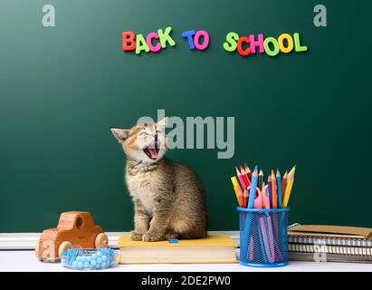 cute kitten scottish golden chinchilla straight sitting with open mouth on a book on a background of green chalk board and stationery, back to school