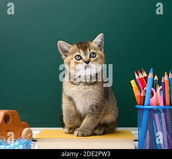 cute kitten scottish golden chinchilla straight sitting on a yellow book on a background of green chalk board and stationery, back to school