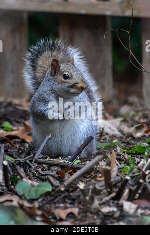 cute squirrel forages for food - eastern gray squirrel - Sciurus carolinensis close up Stock Photo