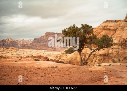 lonely tree in deserted mountains of Petra in Jordan in cloudy weather