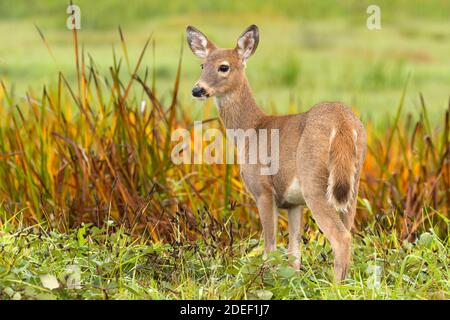 White-tailed deer (Odocoileus virginianus), Ridgefield National Wildlife Refuge, Washington