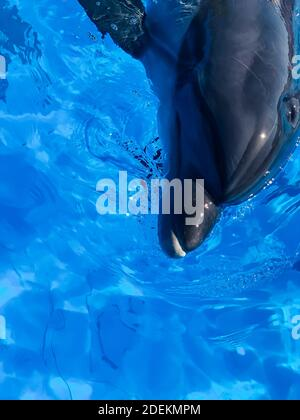 Dolphin bottlenose dolphin in blue water head therapy